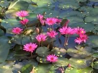 Planting lotus in pond for treatment wastewater